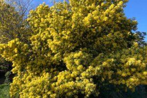 Randonnée Mimosa
